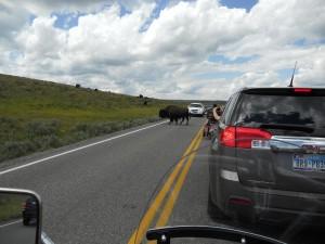 A Jaywalking Buffalo